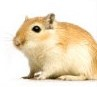 gerbils-species-photo