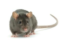 gray-rat